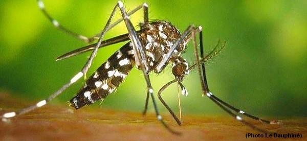 moustique-tigre2